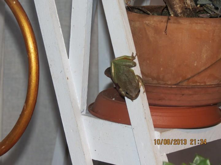 grenouilles  Img_6212