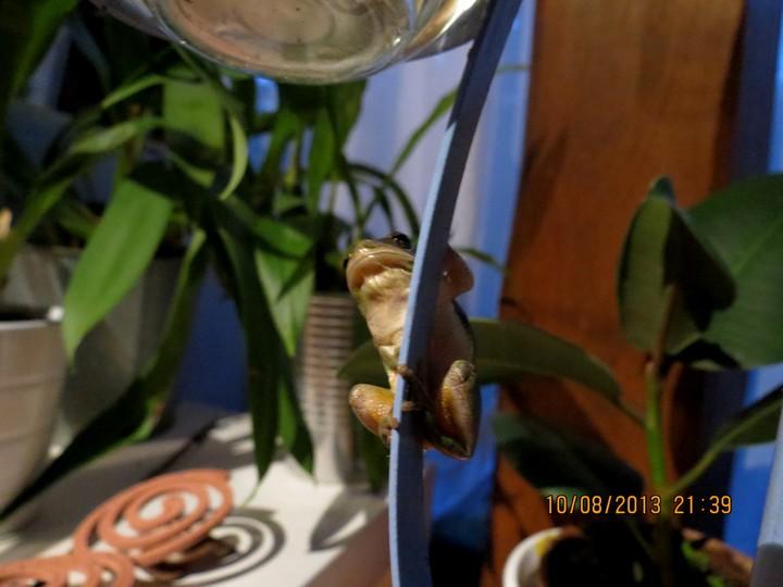 grenouilles  Img_6219