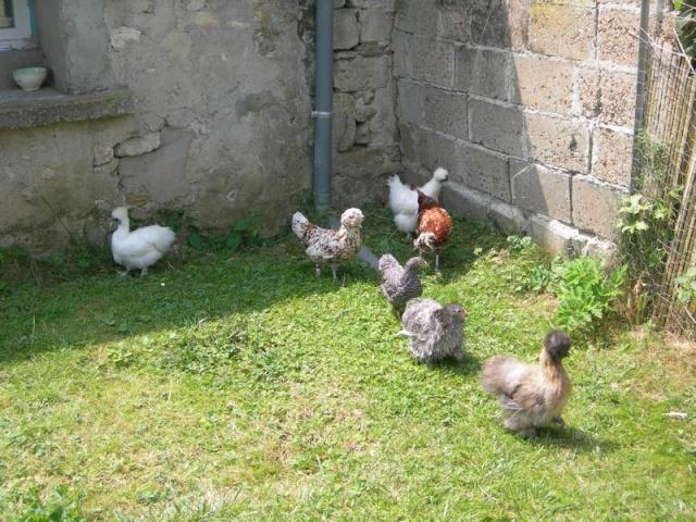 les poules en batterties Dscn3210