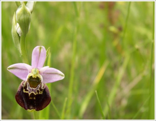 Variation sur Ophrys fuciflora normandes 1110