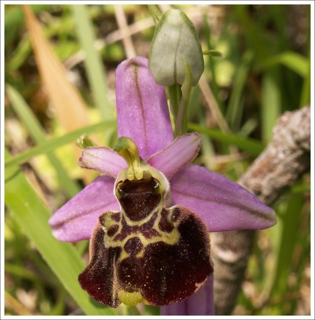 Variation sur Ophrys fuciflora normandes 113