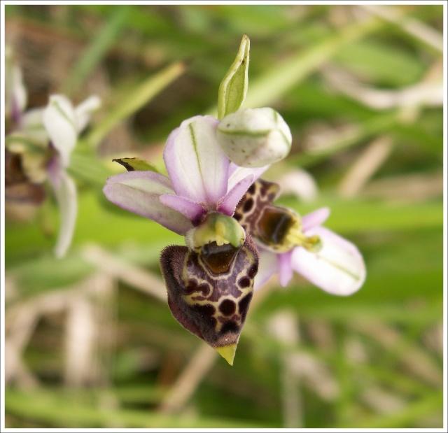 Variation sur Ophrys fuciflora normandes 1212