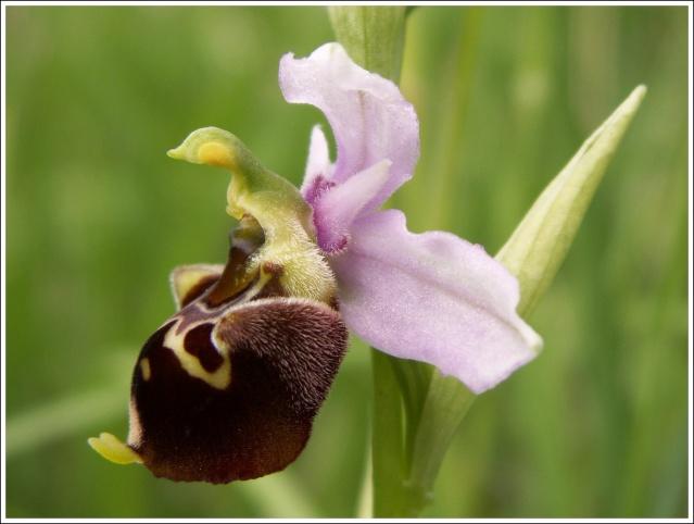 Variation sur Ophrys fuciflora normandes 413