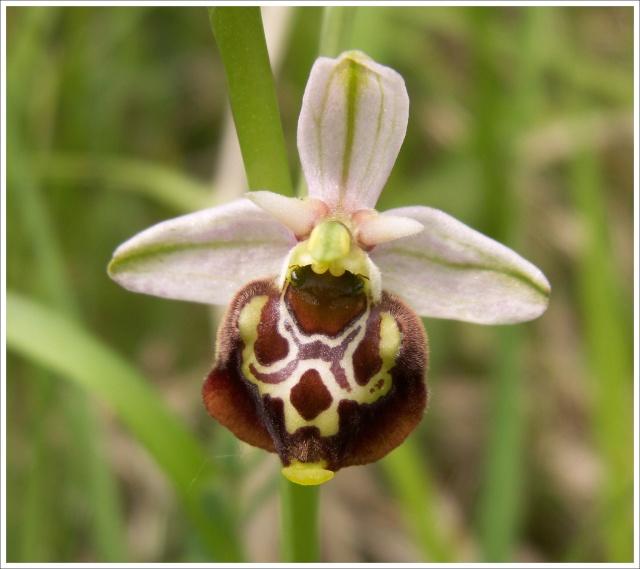 Variation sur Ophrys fuciflora normandes 510