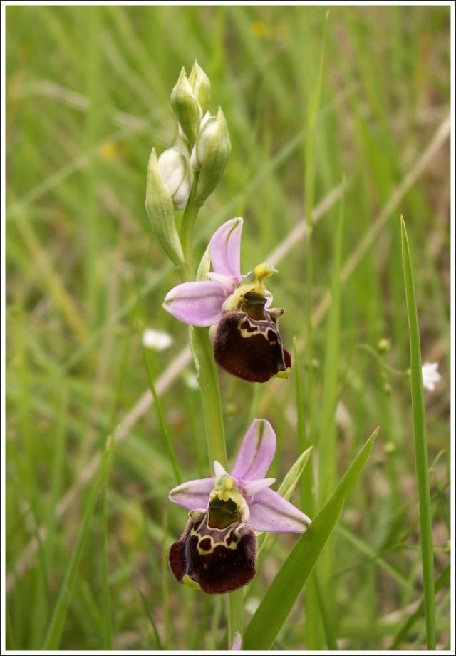 Variation sur Ophrys fuciflora normandes 613