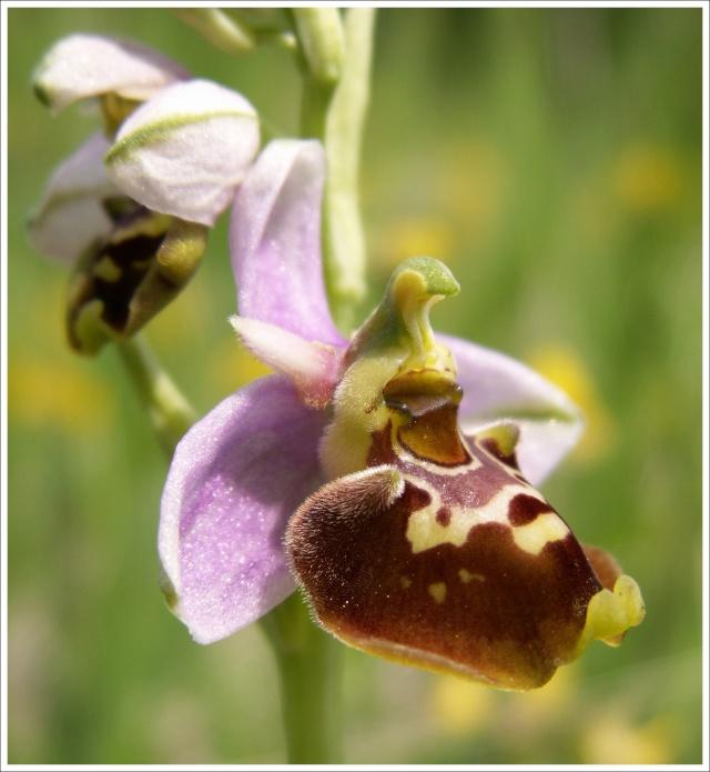 Variation sur Ophrys fuciflora normandes 811