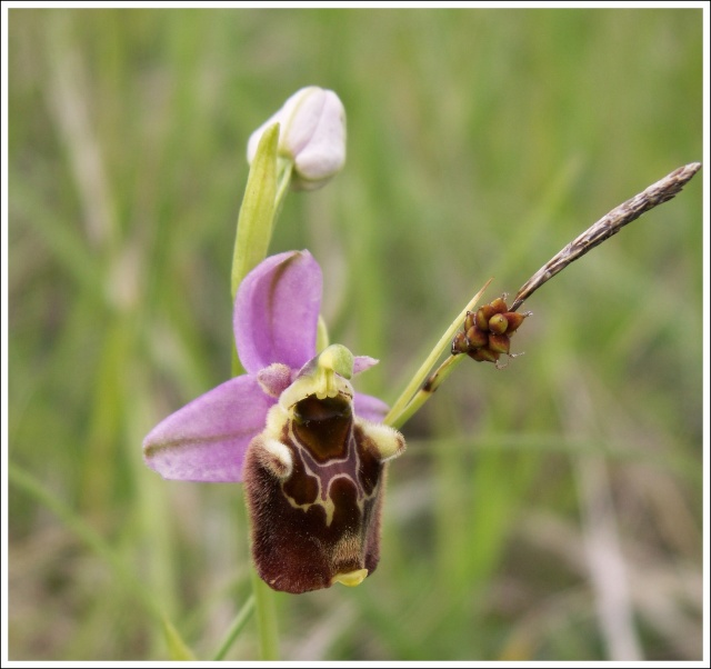 Variation sur Ophrys fuciflora normandes 911