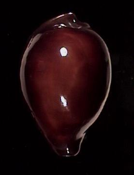 [résolu] Erronea succincta succincta (LINNAEUS, 1758) Errone10