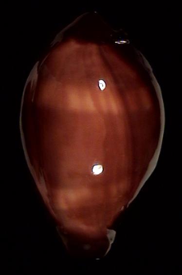 [résolu] Erronea succincta succincta (LINNAEUS, 1758) Errone11