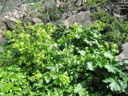 Parfum de plantes - Page 4 Celeri13