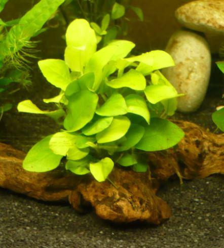 Plantes pour aquarium accueillant des poissons rouges 215