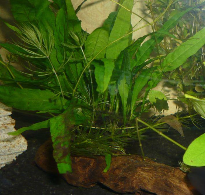 Plantes pour aquarium accueillant des poissons rouges Mic210