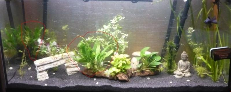 Plantes pour aquarium accueillant des poissons rouges Mic_110