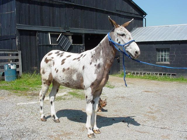La mule appaloosa Mule_a11