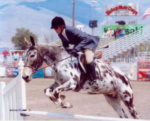 La mule appaloosa Mule_a12