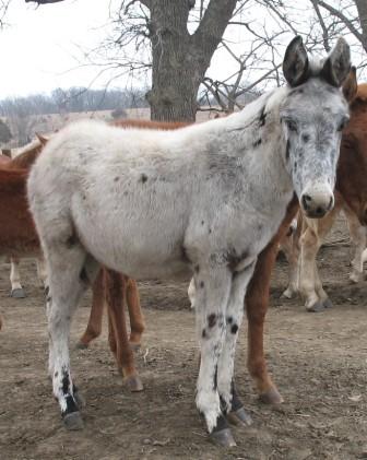 La mule appaloosa Poulai10