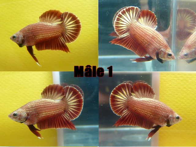 Jeunes red dragon F2 Male_111