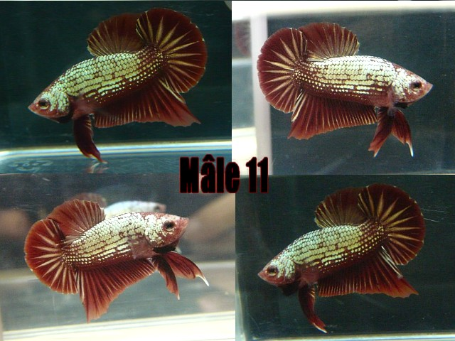 Jeunes red dragon F2 Male_113