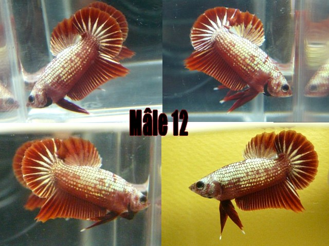 Jeunes red dragon F2 Male_114