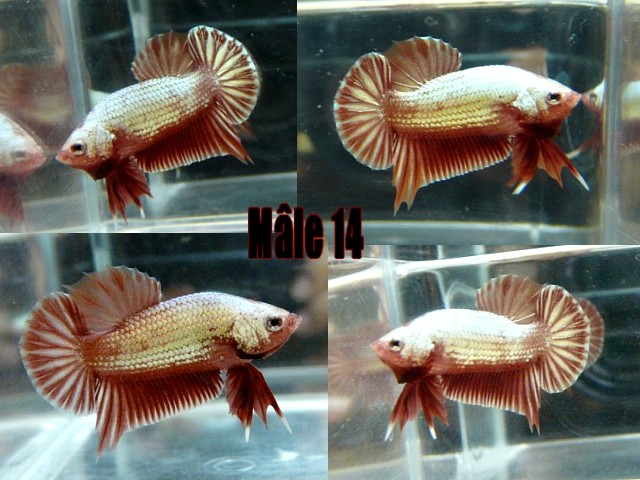 Jeunes red dragon F2 Male_116