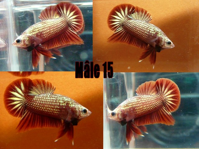 Jeunes red dragon F2 Male_118