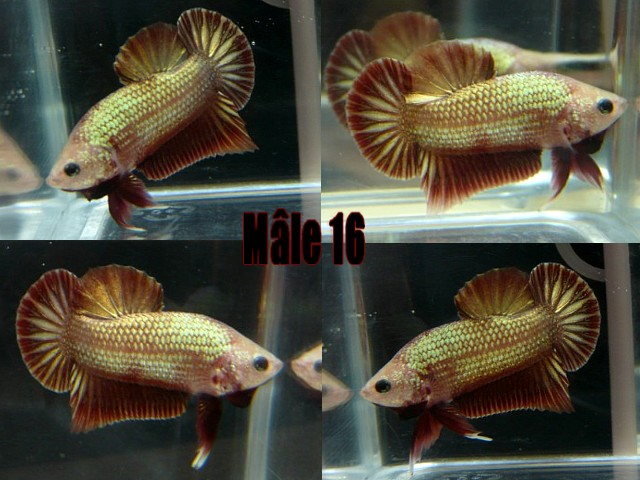 Jeunes red dragon F2 Male_119