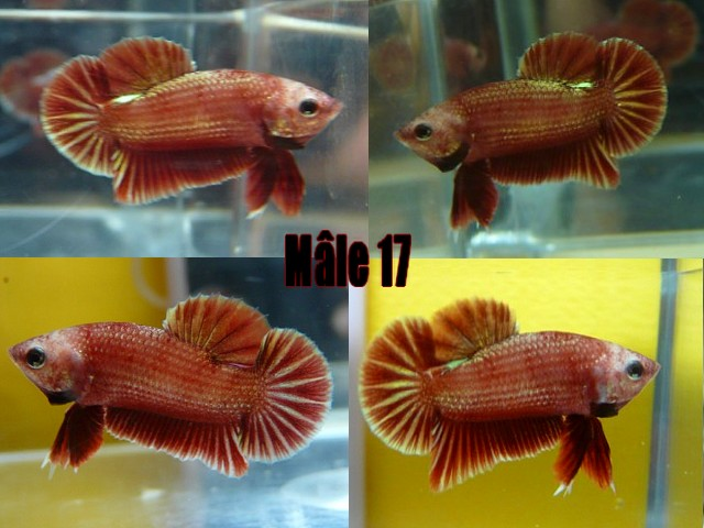 Jeunes red dragon F2 Male_120