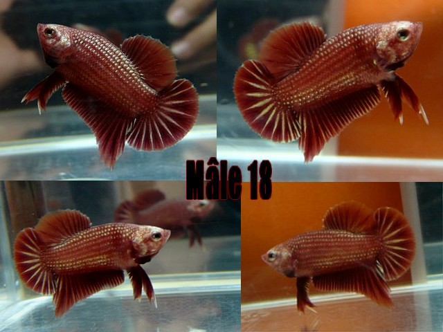 Jeunes red dragon F2 Male_121
