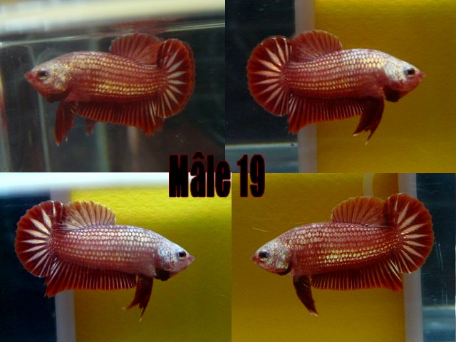 Jeunes red dragon F2 Male_122