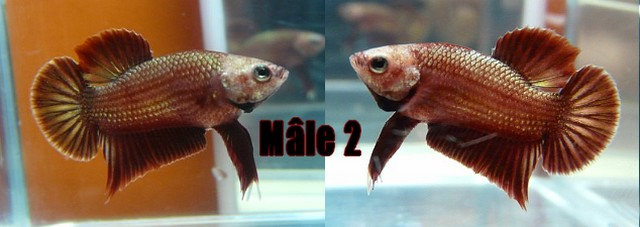 Jeunes red dragon F2 Male_210