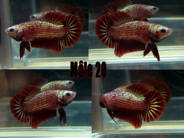 Jeunes red dragon F2 Male_211
