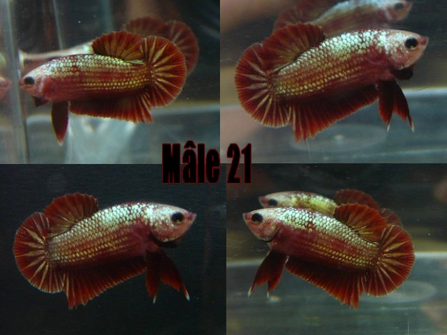Jeunes red dragon F2 Male_212