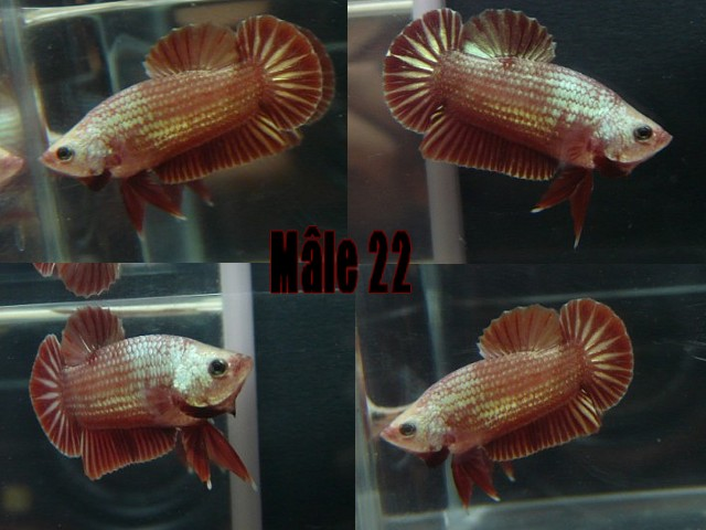Jeunes red dragon F2 Male_213
