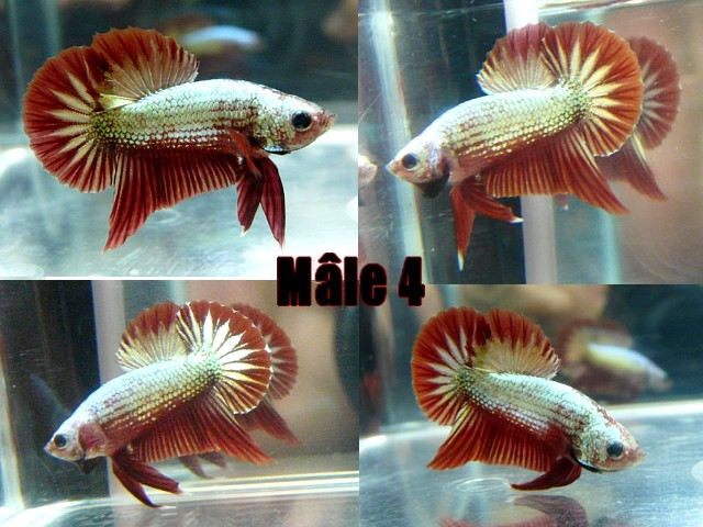 Jeunes red dragon F2 Male_410