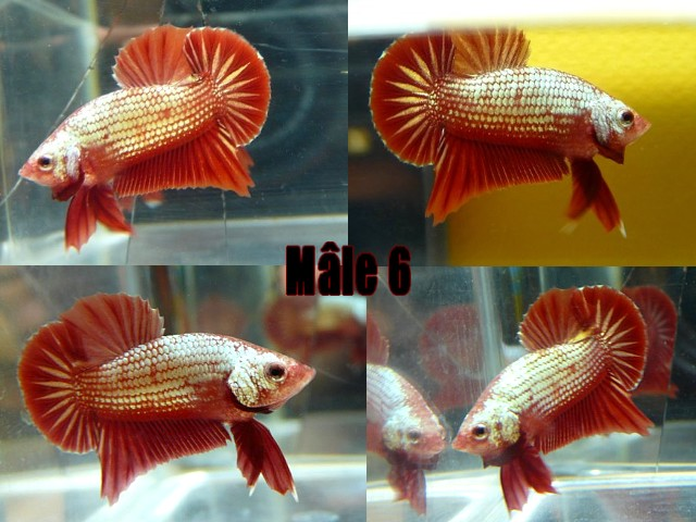 Jeunes red dragon F2 Male_610
