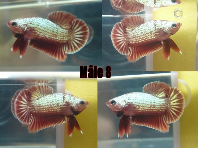 Jeunes red dragon F2 Male_812