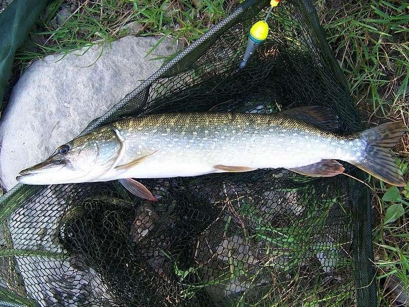 Pêche sur le gardon 100_4119