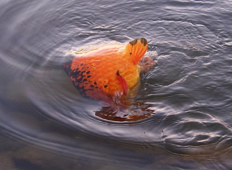 Pêche sur le gardon 100_4123