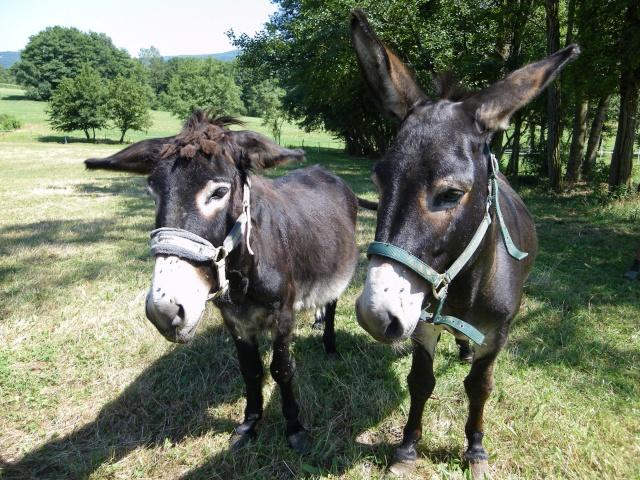 (dpt 71) A ADOPTER, MILAN et ZADIG, ânes communs, en famille d'accueil chez Charly71 Imgp0021