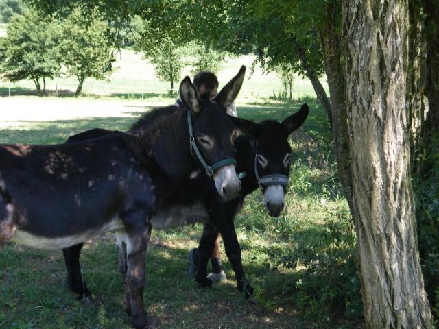 (dpt 71) A ADOPTER, MILAN et ZADIG, ânes communs, en famille d'accueil chez Charly71 Imgp0022