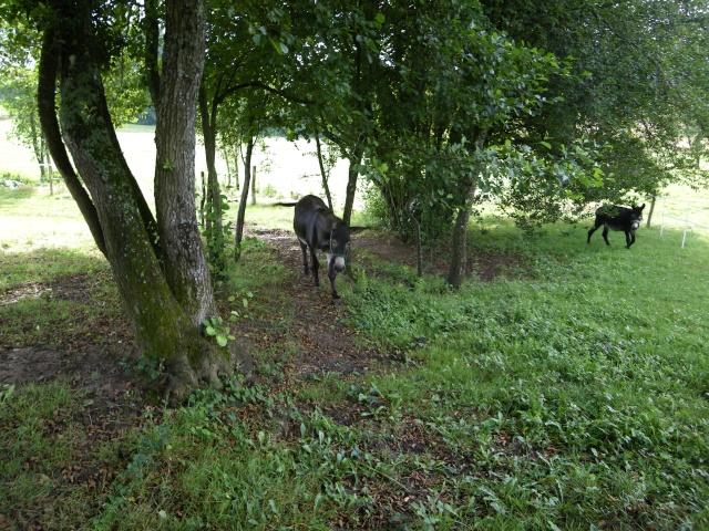 (dpt 71) A ADOPTER, MILAN et ZADIG, ânes communs, en famille d'accueil chez Charly71 Imgp0023