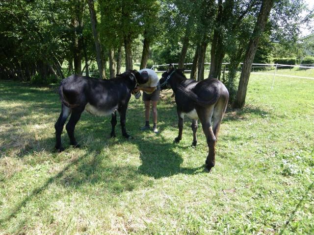 (dpt 71) A ADOPTER, MILAN et ZADIG, ânes communs, en famille d'accueil chez Charly71 Imgp0026
