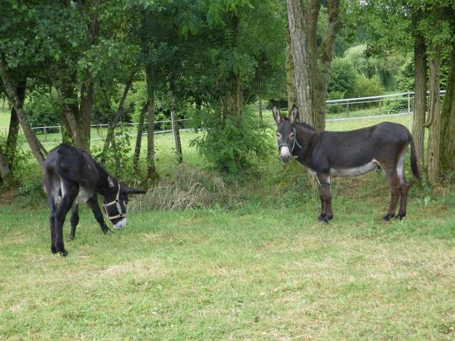 (dpt 71) A ADOPTER, MILAN et ZADIG, ânes communs, en famille d'accueil chez Charly71 Imgp0027