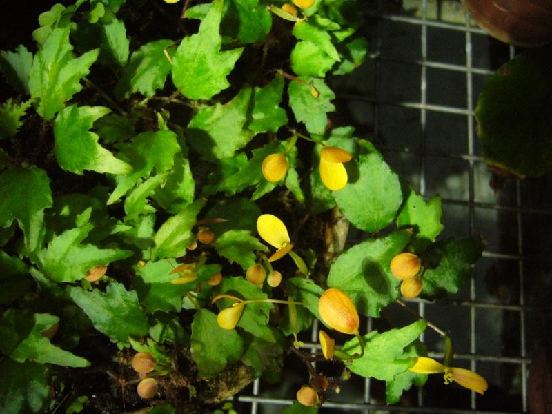 Begonia du JB de Bâle P1080913