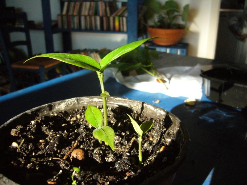 Garcinia mangostana (Mangoustan) P1090011