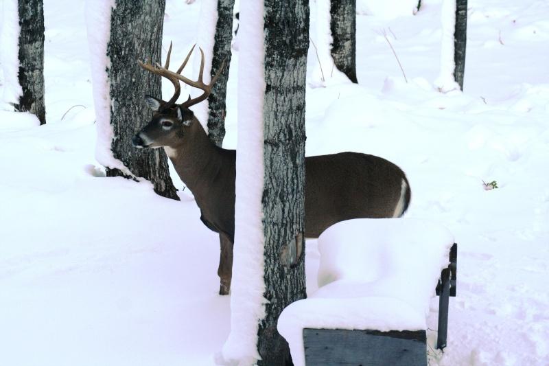Un gros Buck Le King de mon secteur Img_2011