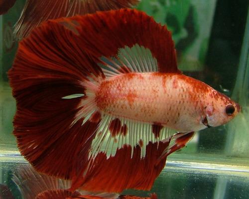 Red marble DT (Patsayawan) Fwbett12