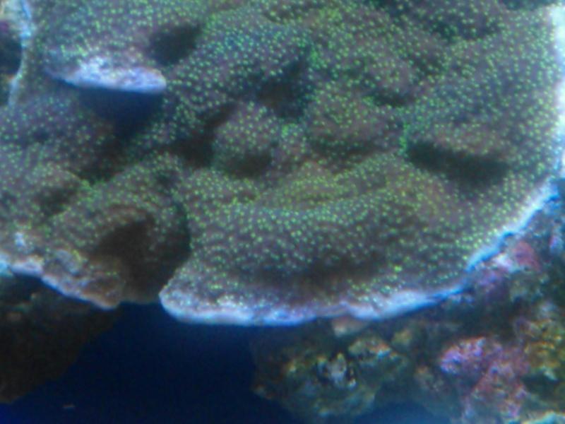 coraux mal ouvert Wp_00022