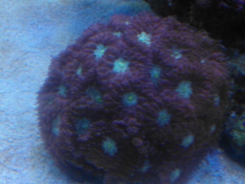 coraux mal ouvert Wp_00025