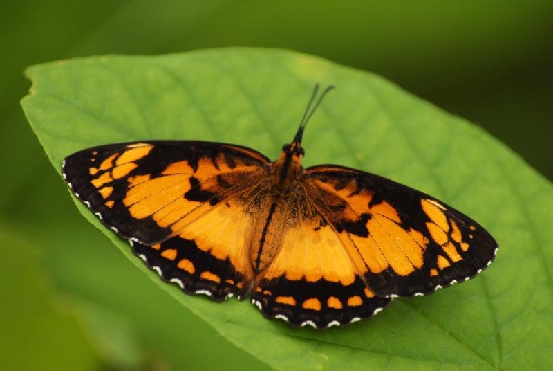 [Byblia anvatara] Papillon MAYOTTE Mayott10